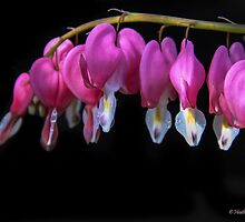 Dicentra by heatherfriedman