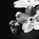 Forget-Me-Nots 1 B&W by photonista