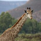 South African Grace - the Giraffe by Ren Provo