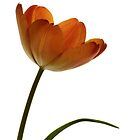 Simple Tulip by Lynn Gedeon