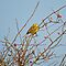 Yellowhammer And Rosehips by VoluntaryRanger