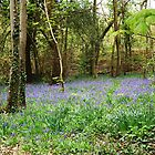 Bluebell wood by bratpyle