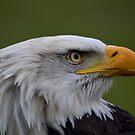 Bald eagle by Nicole W.