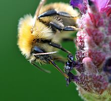 Common Carder Bee on Lavender by Berwick
