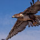 Ferruginous Hawk in Flight by RobTravis