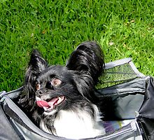 Happy Papillon In A Bag by Al Bourassa