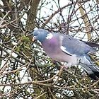Wood pigeon by bratpyle