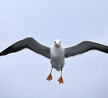 Seagull in flight by mrivserg
