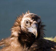 Black Headed Vulture by Norma Cornes