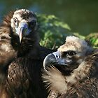 Black Headed Vulture by Norma Cornes