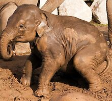 Muddy baby elephant by Norma Cornes