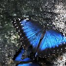 Cobalt Blue Butterfly by gharris