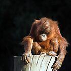 Baby orang utan by Norma Cornes
