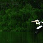 Pelican in flight. Murray River, S.A. by elphonline