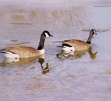 Canada Geese in Winter by srosu