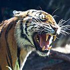 Tiger - Taronga Park Zoo Sydney by DavoSp8