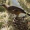 Curved-bill Thrasher ~ Nesting 2013 by Kimberly P-Chadwick