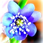 Hepatica closeup by The Creative Minds