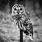 Barred Owl by CVanMeter