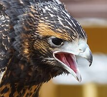 Young Chilean Blue Eagle by Roger Hall