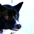 Feeling a little Husky? by David McGilchrist