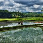 Rice Farming by Studio601