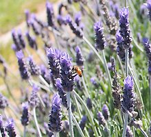 Bee on the Lavender Photograph by kreativekate