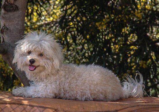 A Poodle? by heatherfriedman