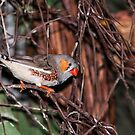 The Zebra Finch by gharris