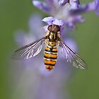 Hoverfly on lavendar by hpelly31