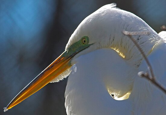 Great White Egret with the Sun Behind Her by imagetj