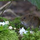 Bank vole eating cherry blossom by Peter Skillen