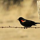 Red Wing Blackbird by Betty E Duncan  Blue Mountain Blessings Photography