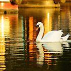 Swan in the sunset, Stratford basin by Michelle Hardy  Photography