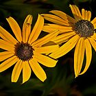 A pair of Black-Eyed Susans by cclaude