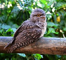 Tawny Frogmouth taken at Nords Wharf by Alwyn Simple