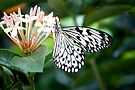 Black and White Butterfly by lindsycarranza