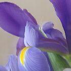 Iris by Dan Seeley