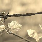 Barbed Wire by Michelle Danker