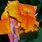 Orange Canna Lily Blossom by  B. Randi Bailey