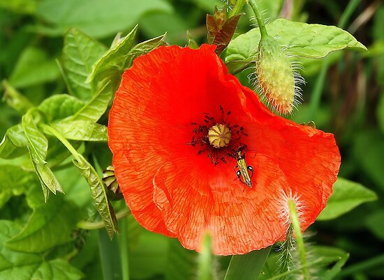 Poppy by Ludwig Wagner