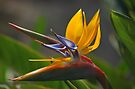 Bird of Paradise  by Jeannie  Mazur