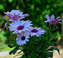 Purple Osteospermum by James Brotherton