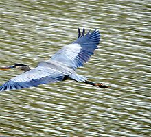 Great Blue Heron On The Move by DottieDees