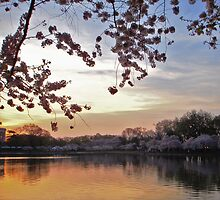 Cherry Tree Blossoms by debidabble