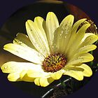 Raindrops on Yellow Cape Daisy by BlueMoonRose