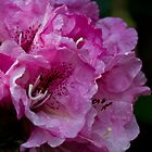 Rhododendron in Bloom  by DIANE  FIFIELD
