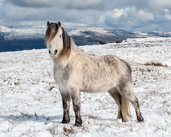 Welsh Mountain Pony by Steve  Liptrot