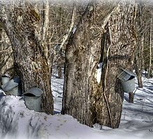 Sugaring Season 2013 by Monica M. Scanlan