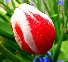 The Striped Tulip by Fara